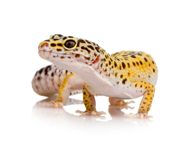 How Heavy Can A Leopard Gecko Get?