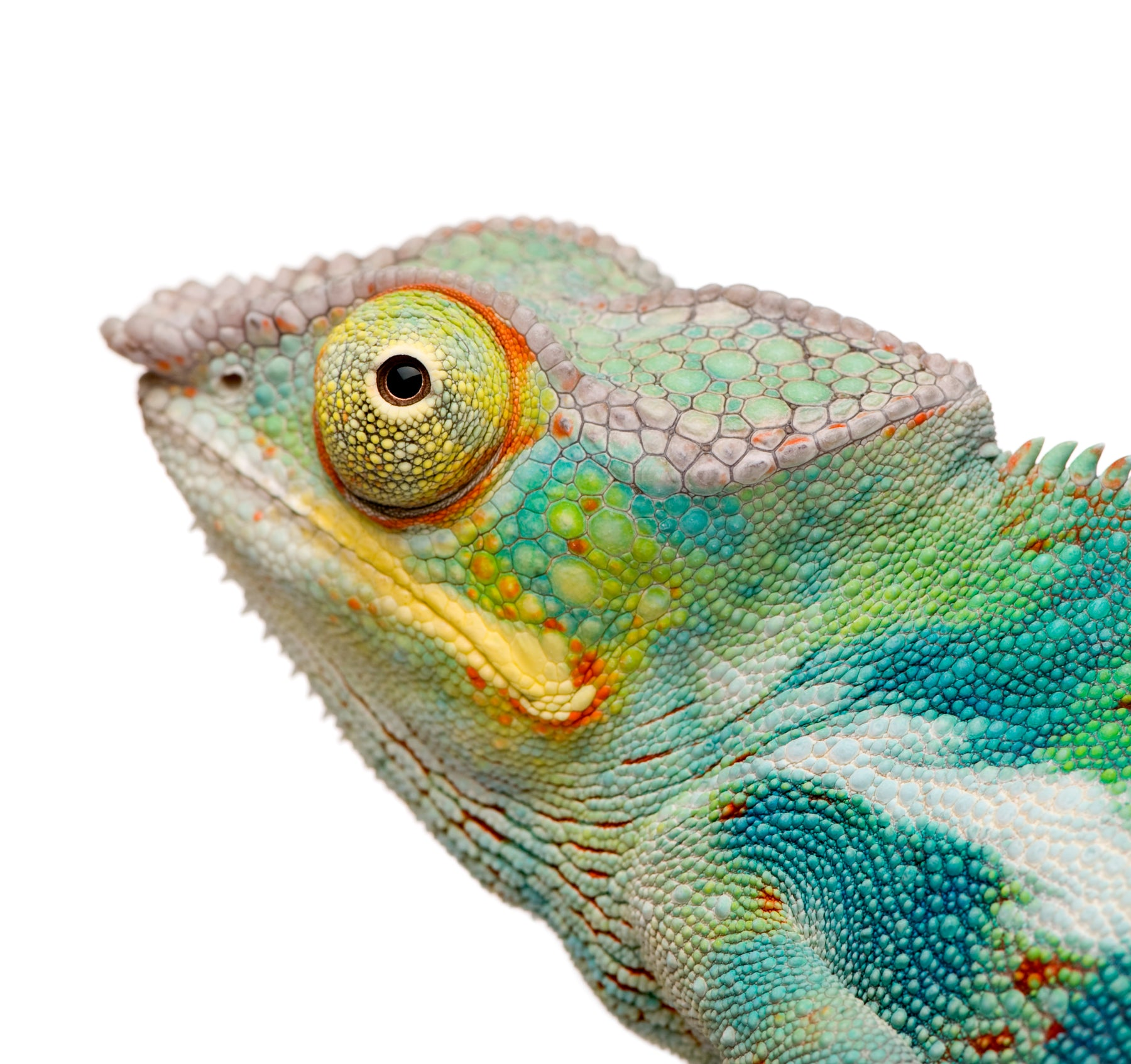 What Can My Panther Chameleon Eat?
