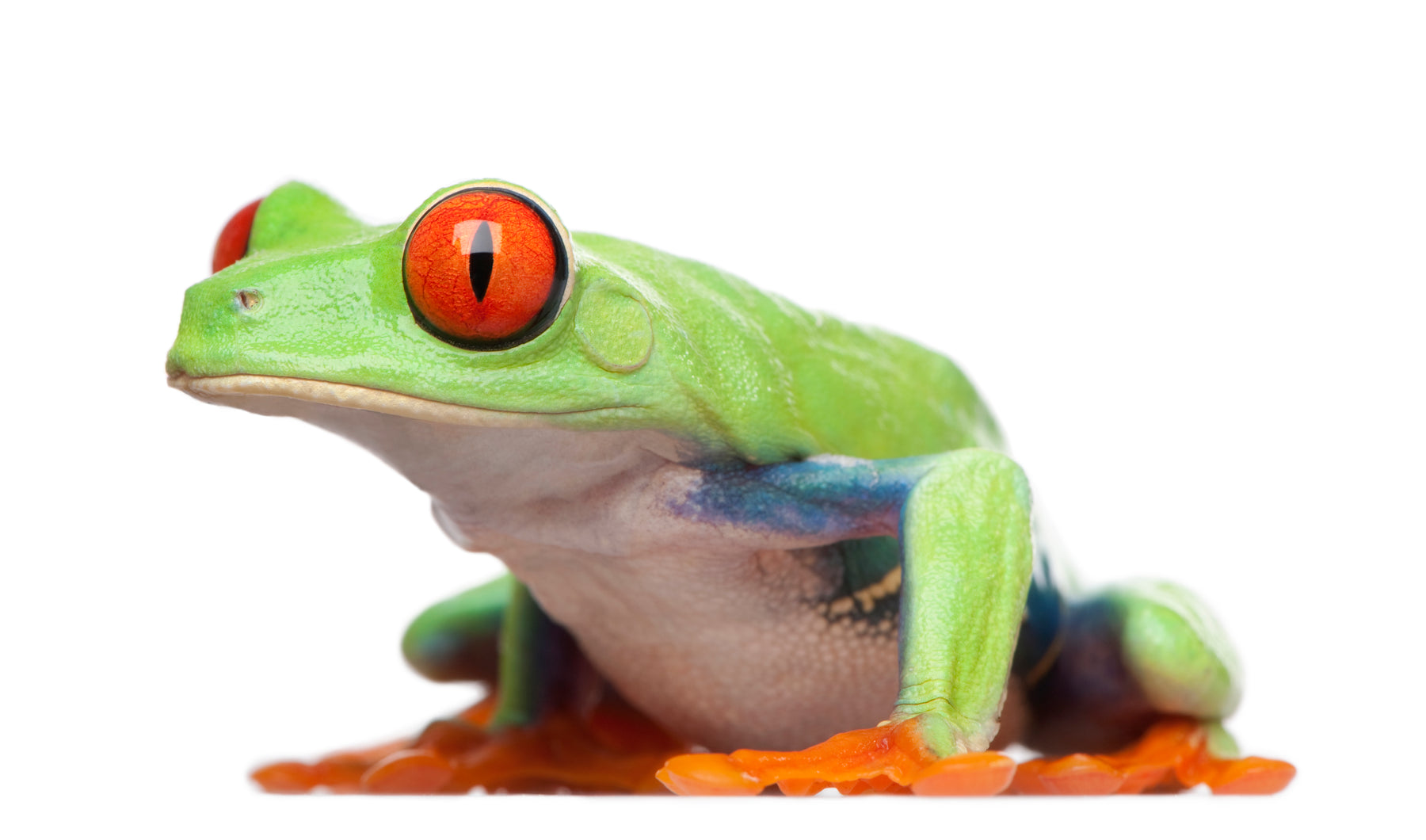 How to Care for Your Red-Eyed Tree Frog