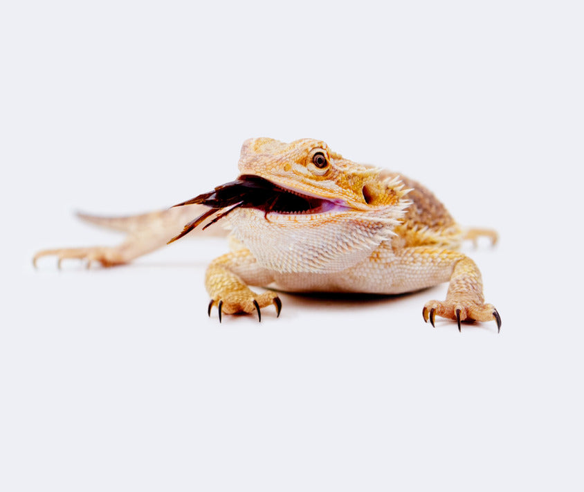 Can My Bearded Dragon Eat Dead Insects?