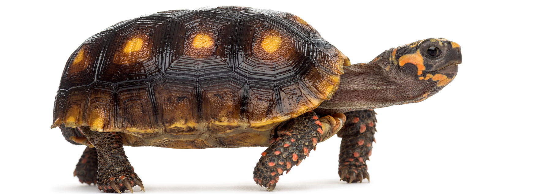 How to Care* for Your Red-Foot Tortoise