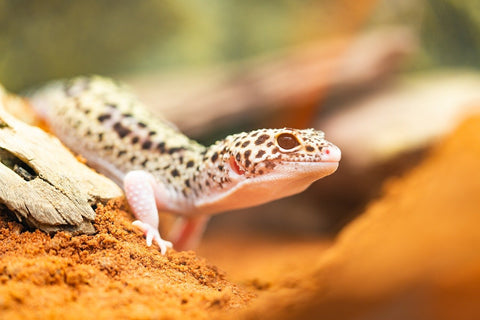 pet leopard gecko