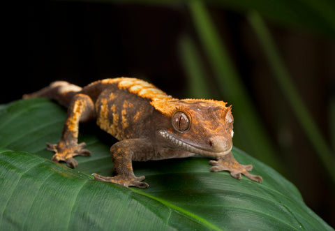 pet crested gecko