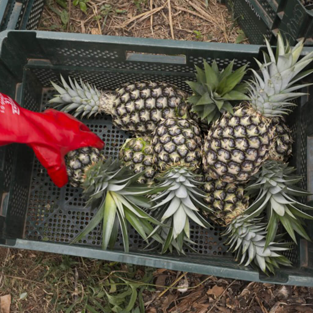 pineapple being harvested for Wallaroo snacks