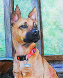 Colored pencil drawing of a German Shepherd mix.