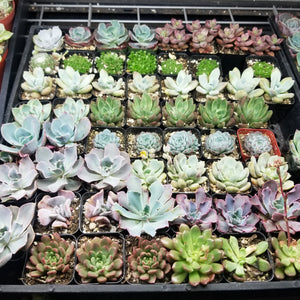 "Random Full flat 2-2.5"" assorted succulents"