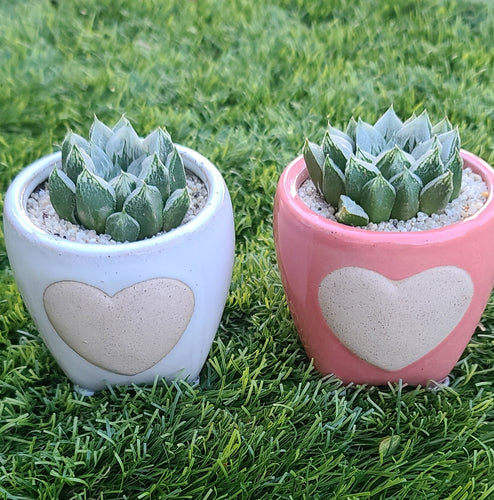 Haworthia Love Heart Valentine's Day Special Super Bowl