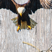 Bald Eagle Nest Swoop Art Print on Distressed Wood Art