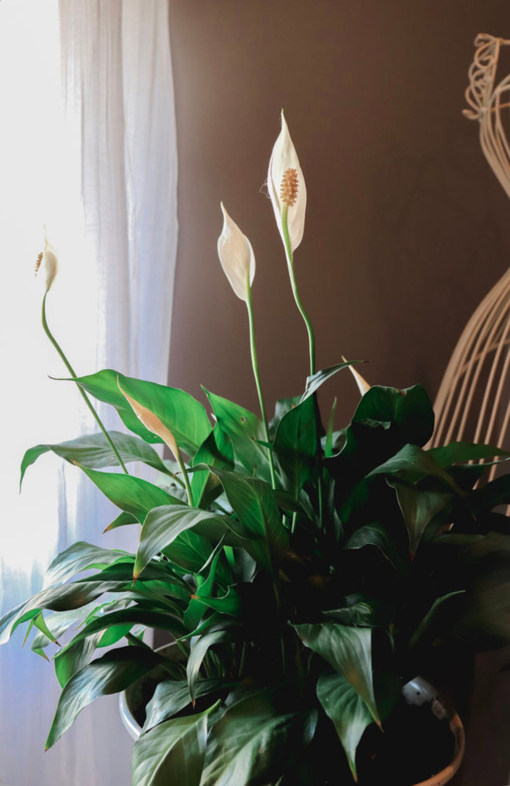 peace lily popular indoor plant