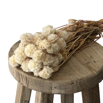 Dried & Preserved Flowers - Windmill - White
