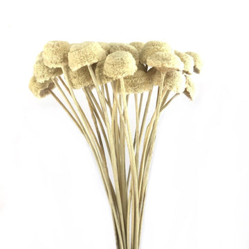 Dried & Preserved Flowers / Button Flower Stems