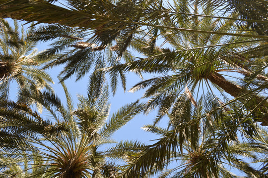 Palm trees in an oasis, the oasis journal, a tuniq project to escape capitalism, radically ethical clothing north african tunisian fashion