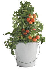 Garden-in-a-pail Tomato