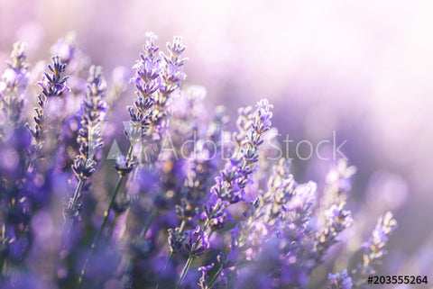 Close-up view of lavender