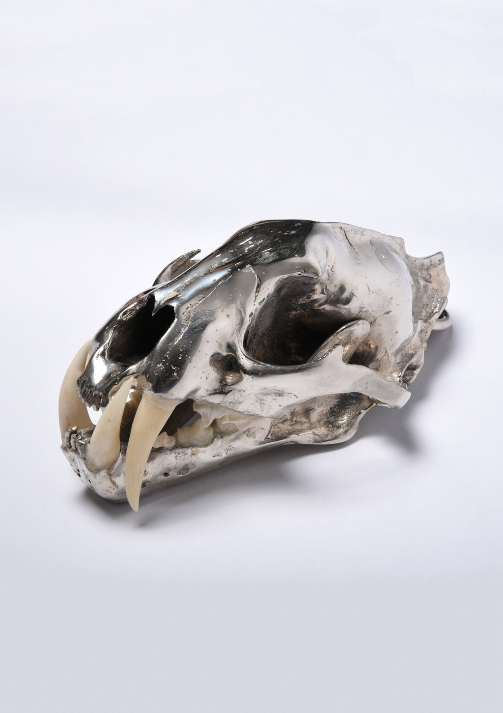Parts of Four Leopard Skull (CR+B)