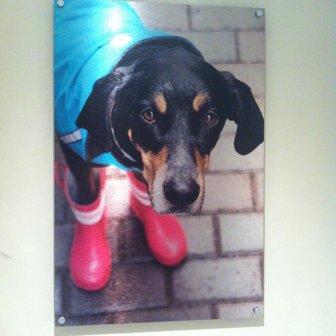 Metal Print of Photo of Dog Wearing Pink Rain Boots and Blue Jacket