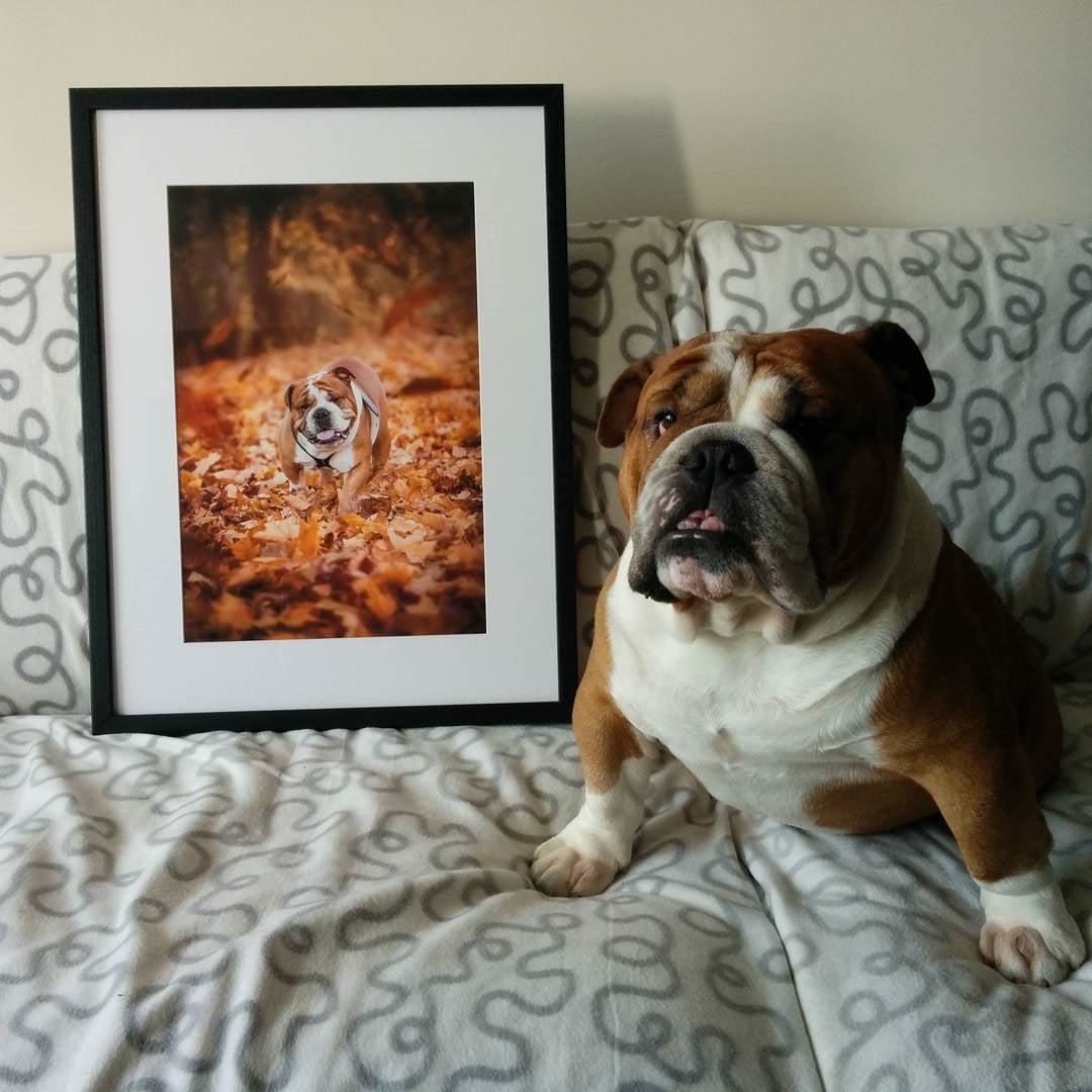 Framed Photo of English Bulldog with Dog Posing Beside Print