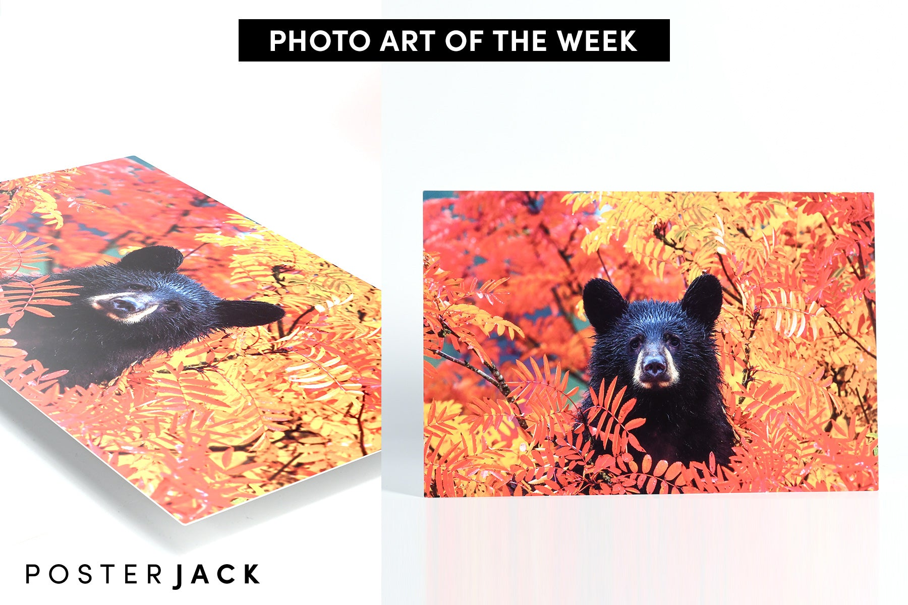 Autumn Bear Cub Photo by Matthew Timmins Photography - HD Metal Print