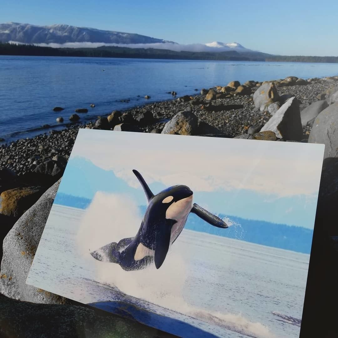 Breaching Killer Whale Photo Printed on Metal