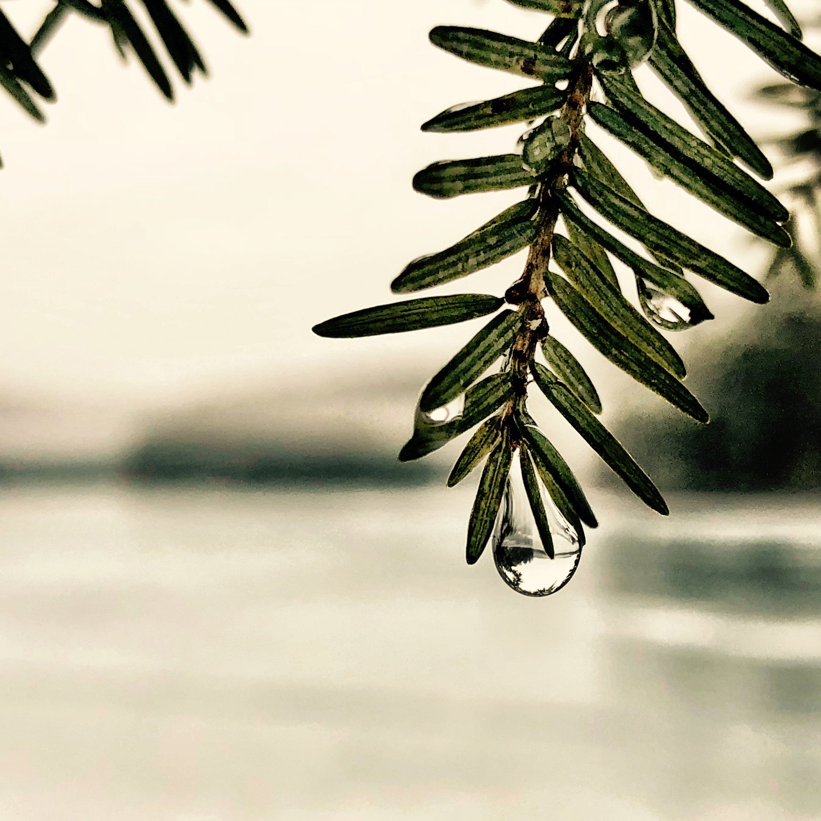 Close-up macro photo of a drop of water on a pine tree branch with a lake in the background
