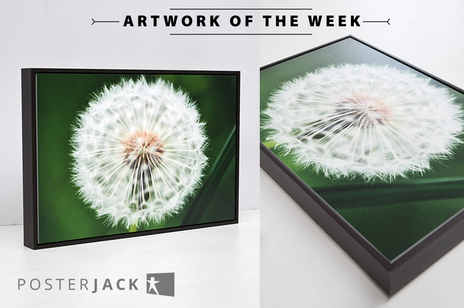 Posterjack Gallery Box Photo of Dandelion Fluff