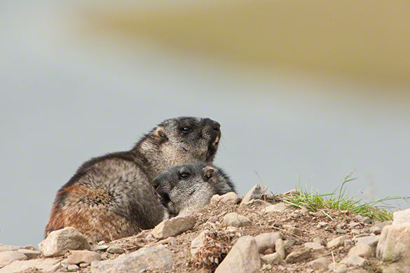 Alaska marmot photo captured by wildlife photographer Moose Peterson