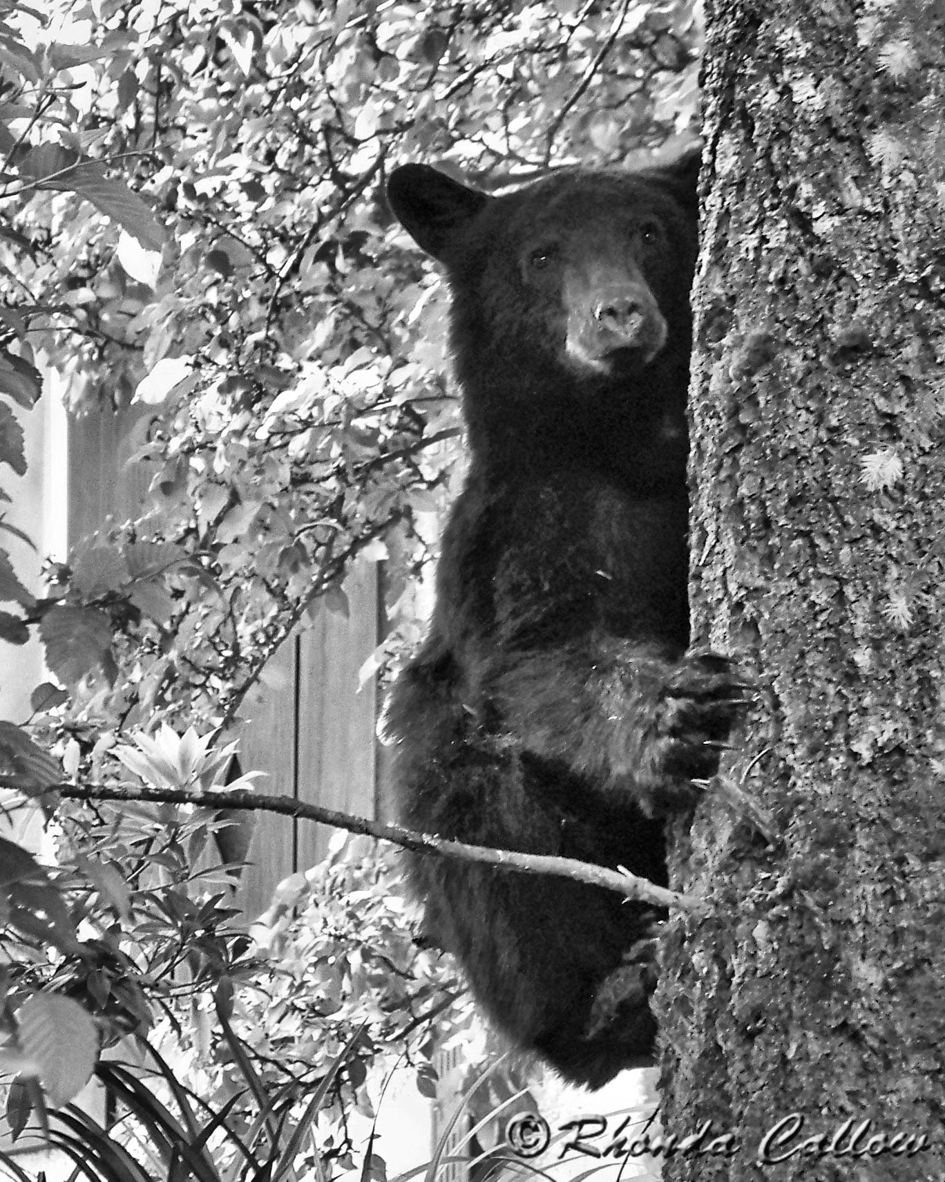 Black bear cub in a tree in Gold River, BC, Canada