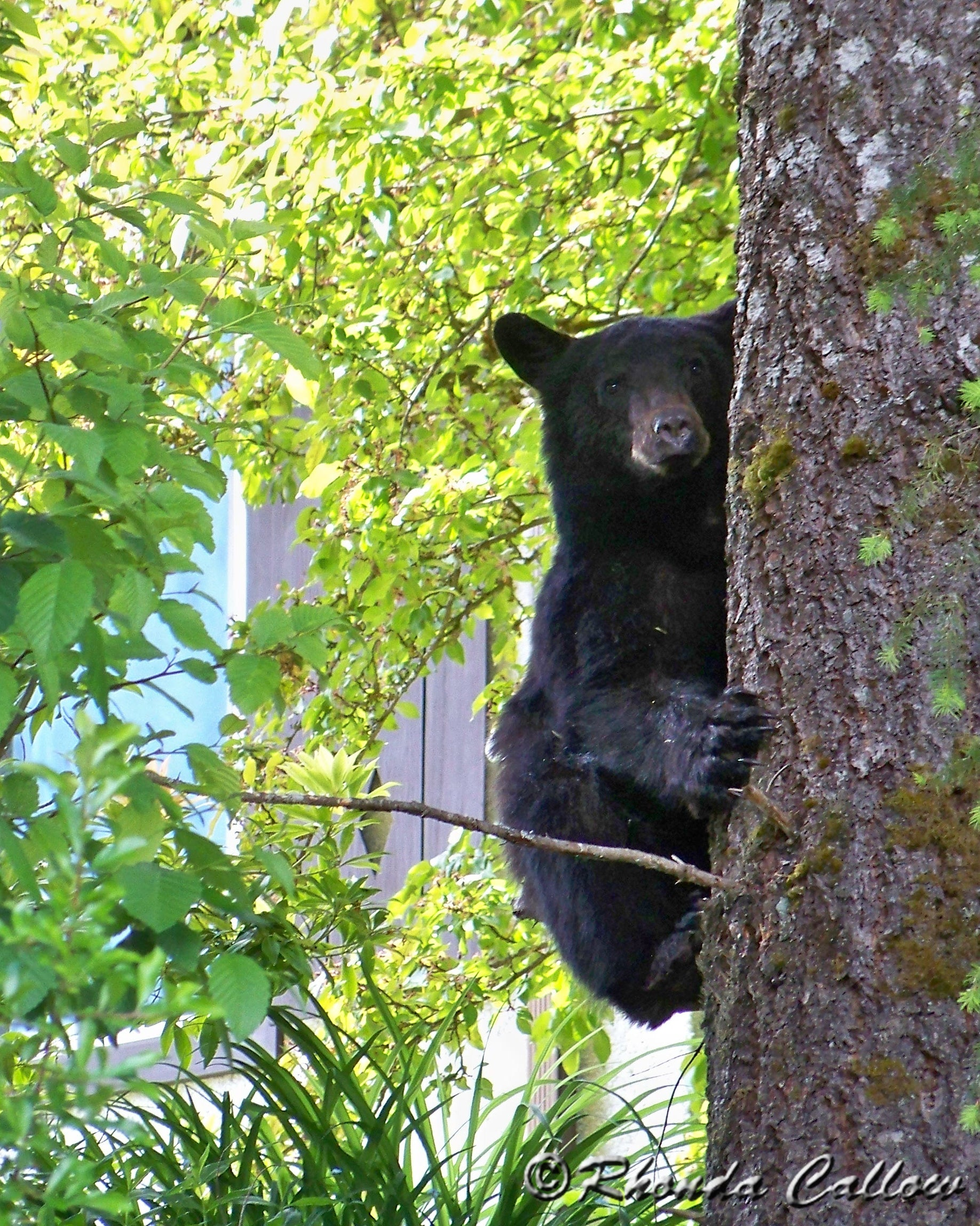 Young black bear in a tree in Gold River, BC, Canada