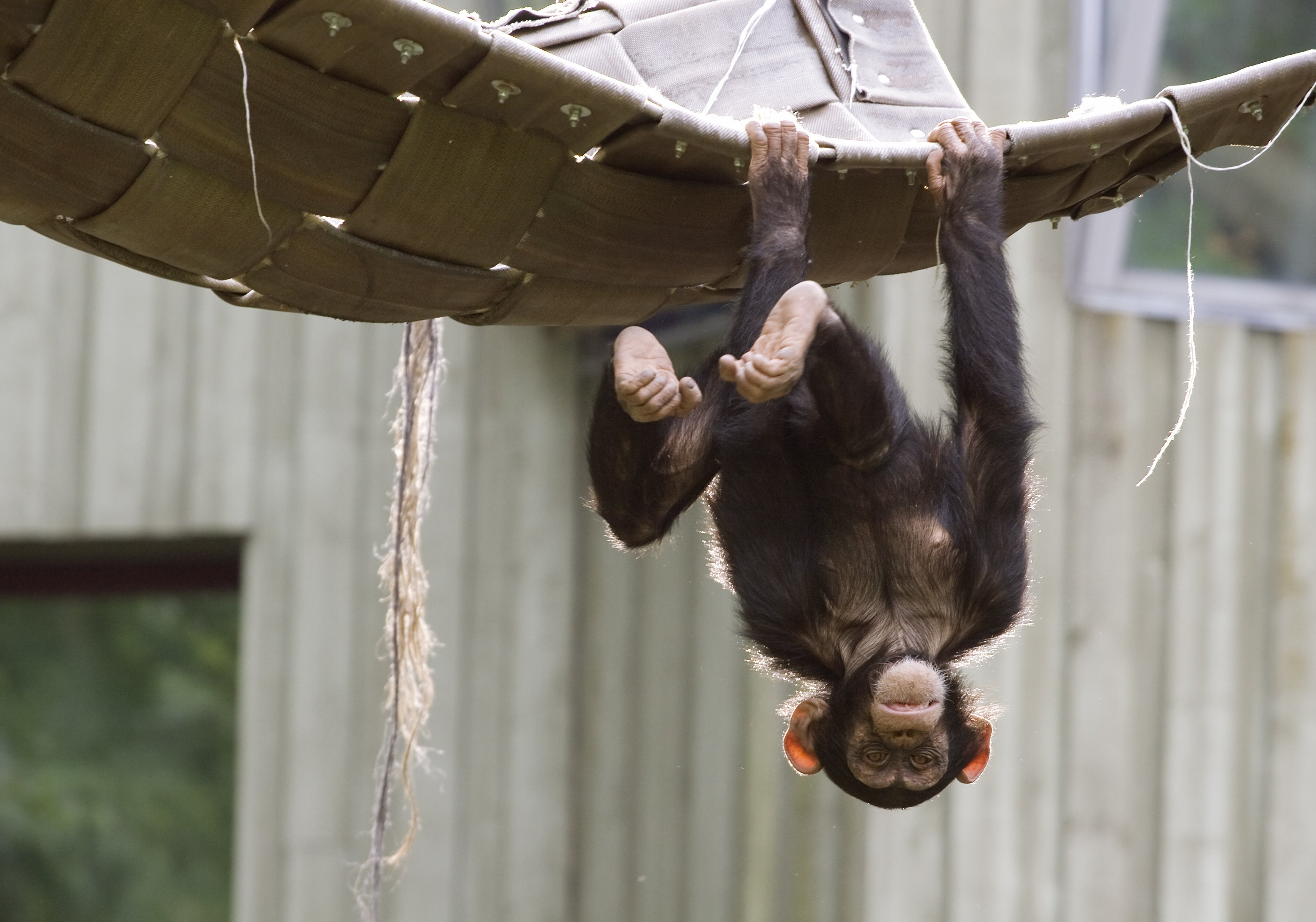 Baby chimpanzee playing and hanging upside-down
