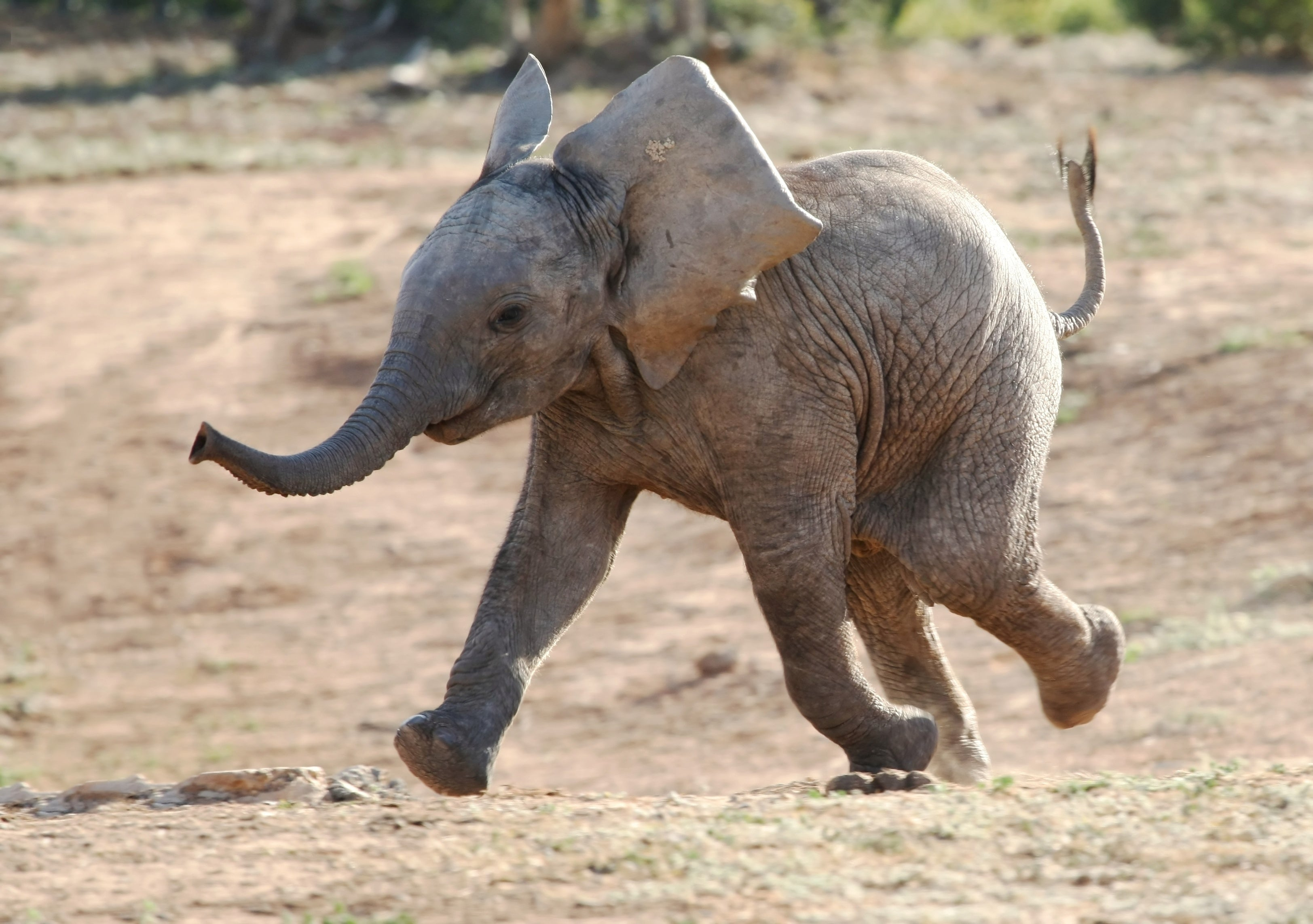 Baby elephant running and playing