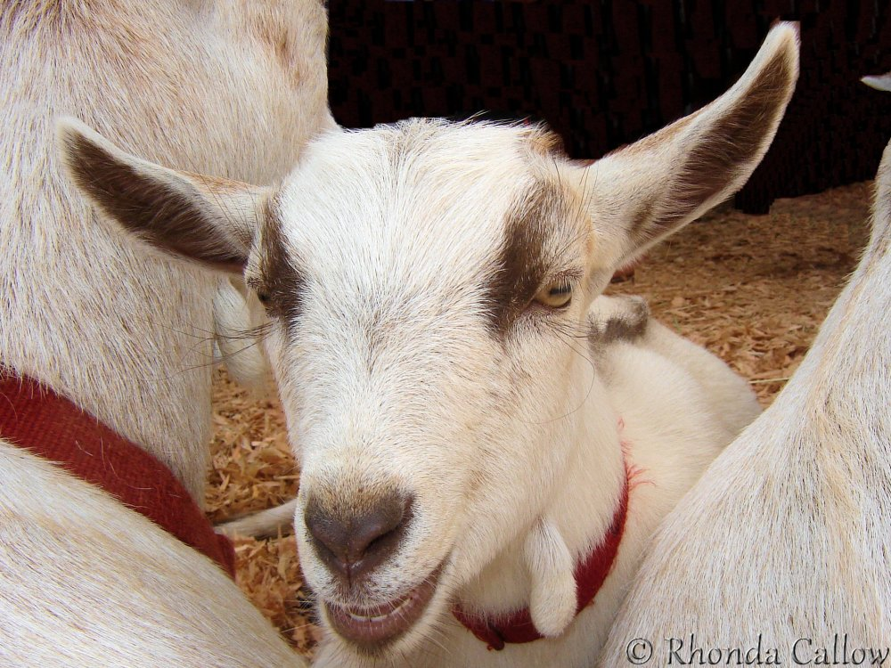 Baby goat at the Beacon Hill Park Petting Zoo in Victoria, BC, Canada