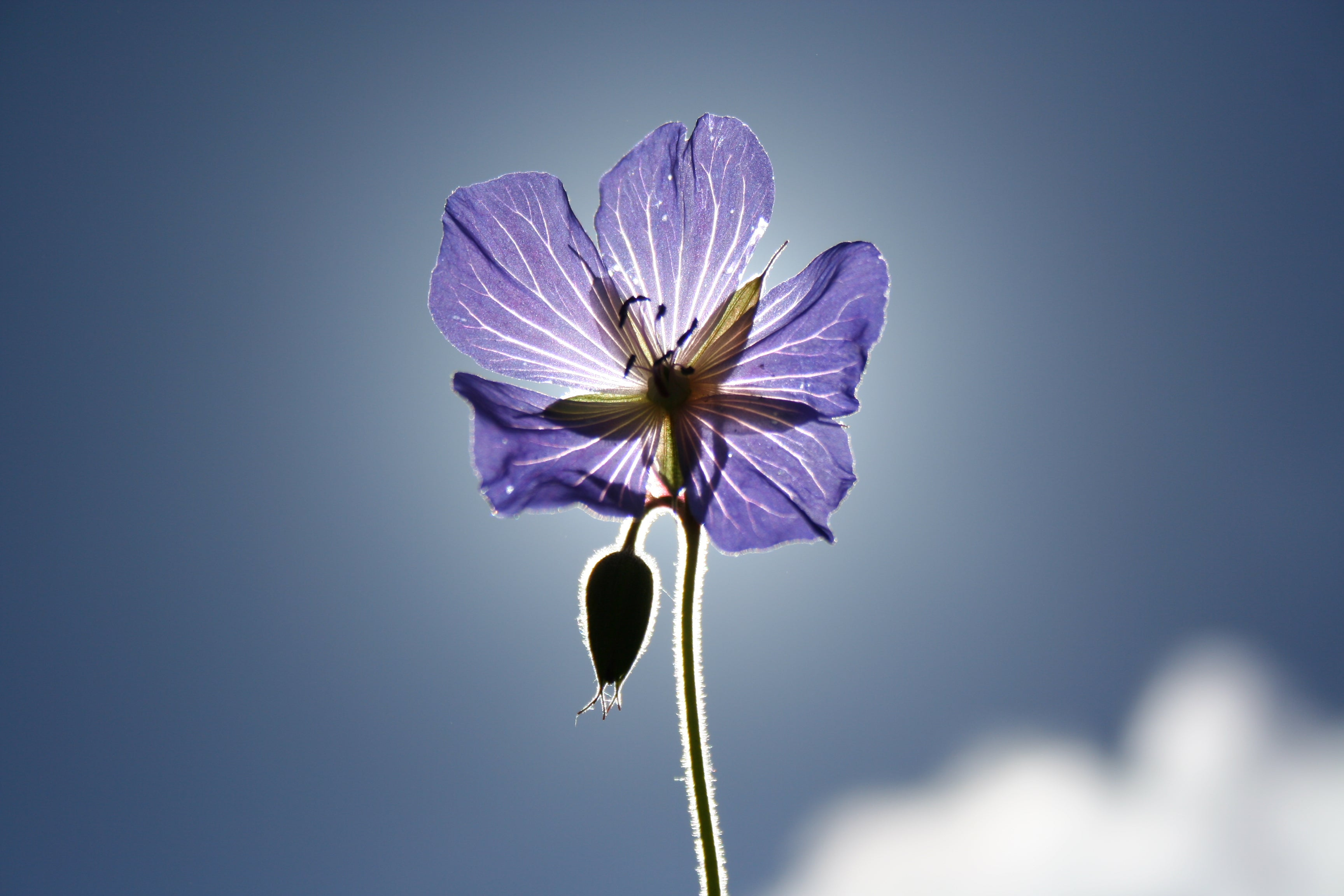 Purple flower backlit by the sun
