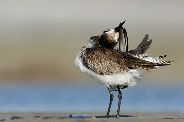 Black-bellied plover photo captured by wildlife photographer Moose Peterson