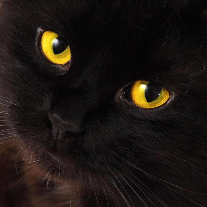 Close-up photo of a black cat with yellow eyes