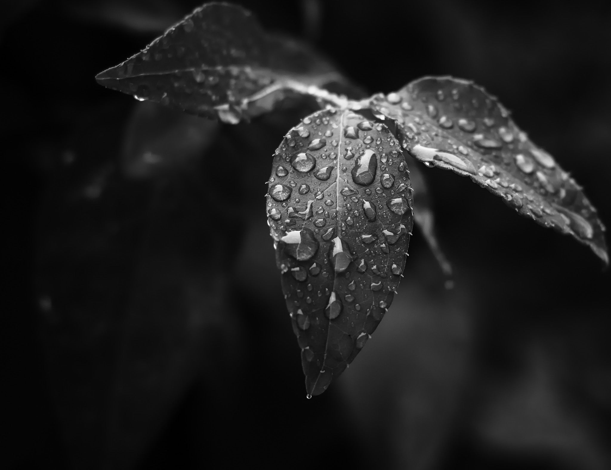 Black & white photo of water droplets on a leaf
