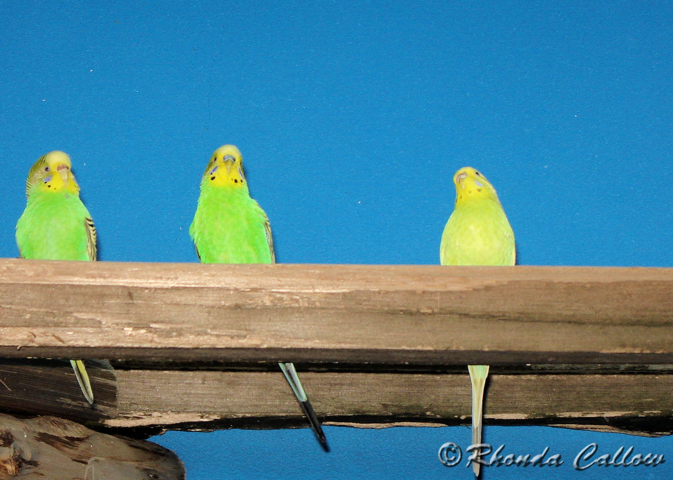 Three bright green budgie birds with a blue background