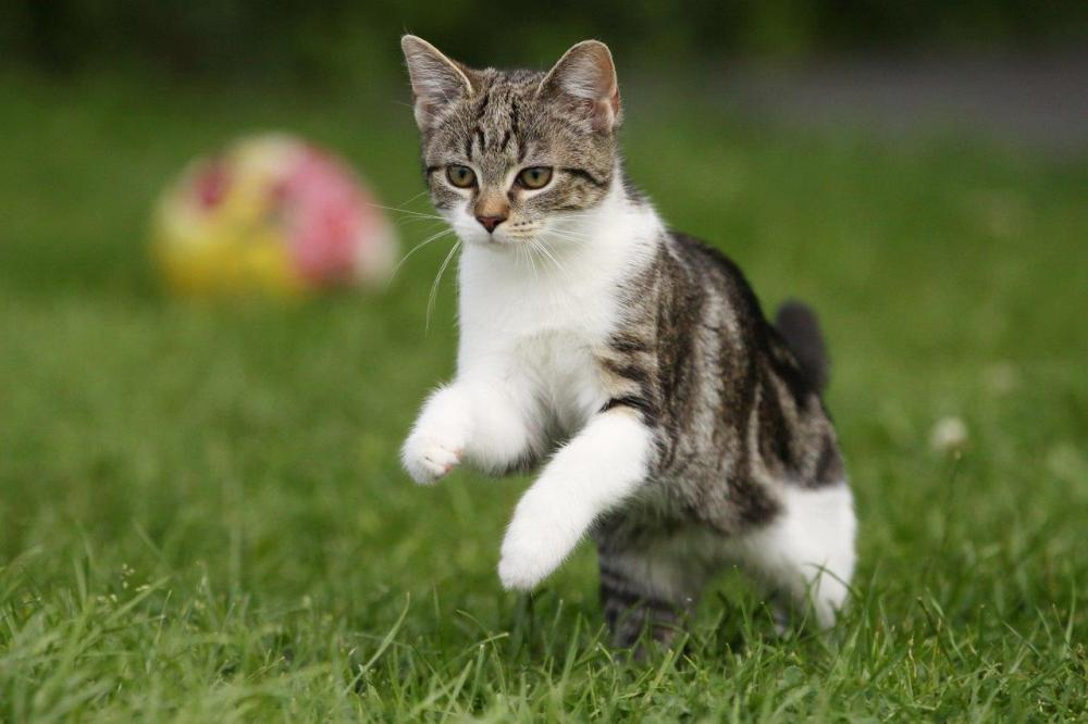 Photo of a young cat jumping and playing outside in the grass