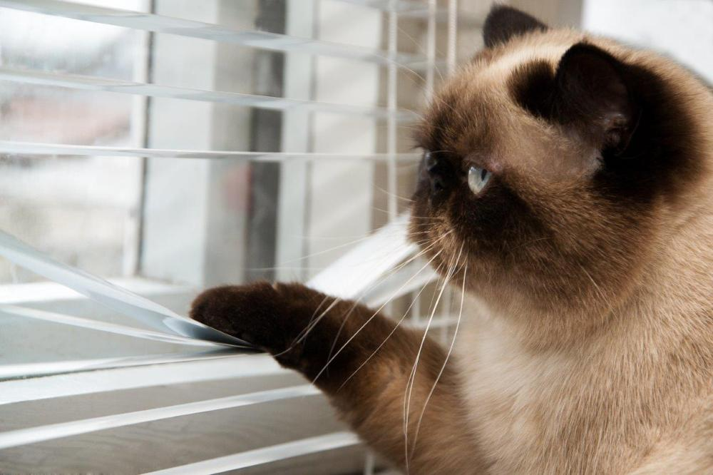 Photo of an indoor cat looking outside with its paw pulling the window blinds down