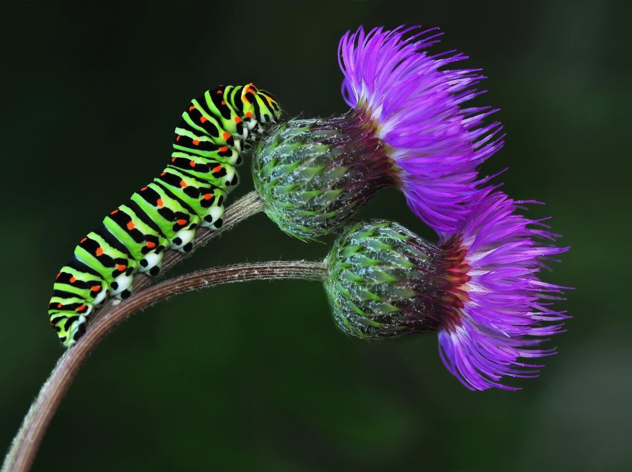 Close-up of a green caterpillar on purple flowers - using your camera's macro scene mode setting