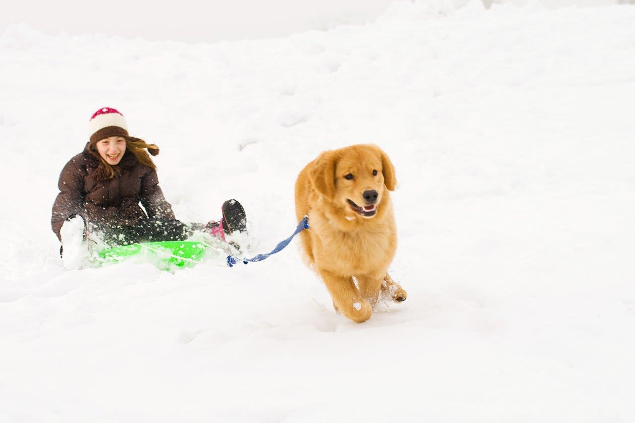 Winter holiday photo of a dog running in the snow pulling a sled with a child on it