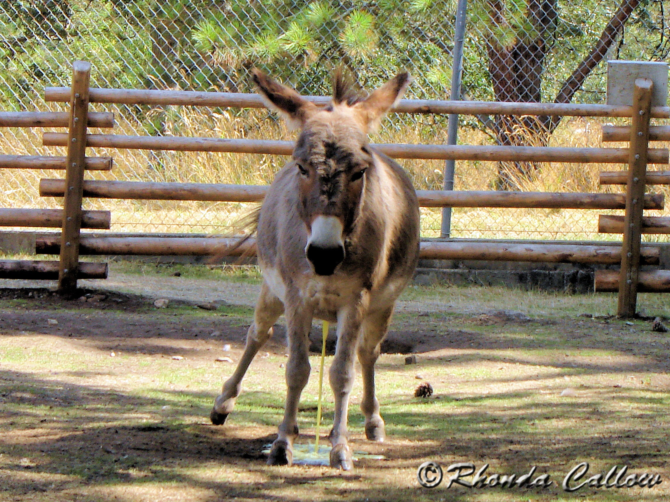 Funny animal photo of a donkey peeing at the Beacon Hill Petting Zoo in Victoria, BC, Canada
