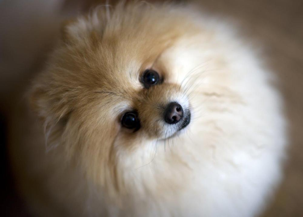 Close-up photo of a small and fluffy dog
