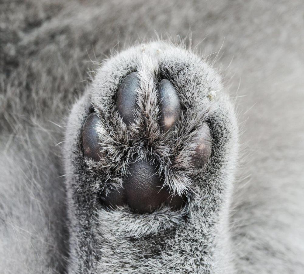 Close-up photo of a grey cat paw