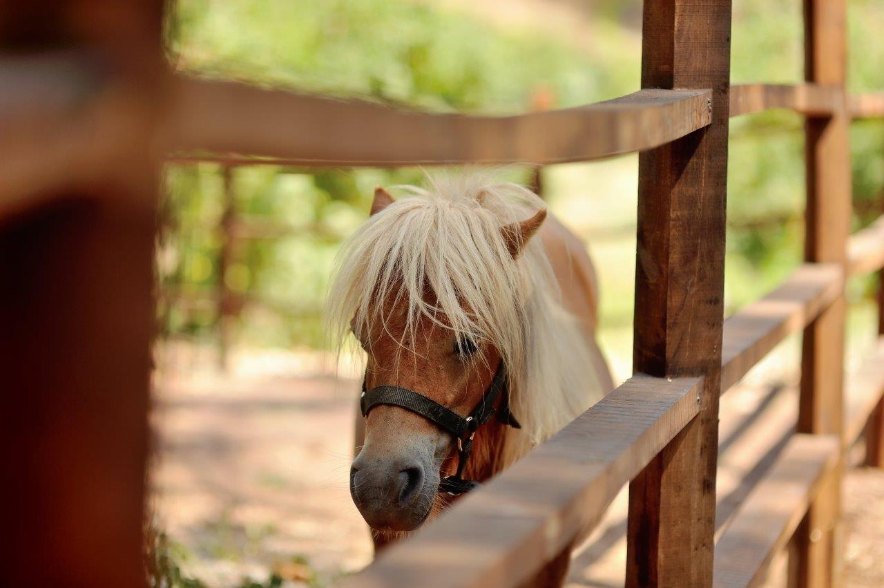Horse looking through a wooden fence