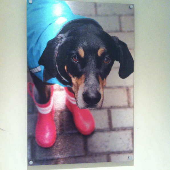 Photo of a dog in boots printed on a Posterjack Metal Print