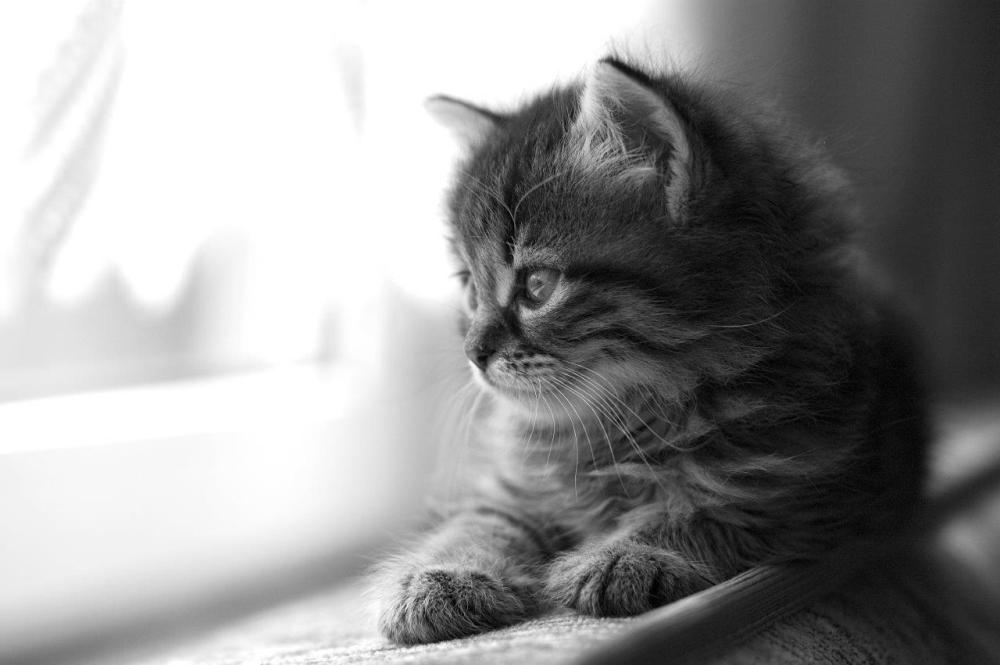 Black and white photo of a kitten on an indoor windowsill looking outside