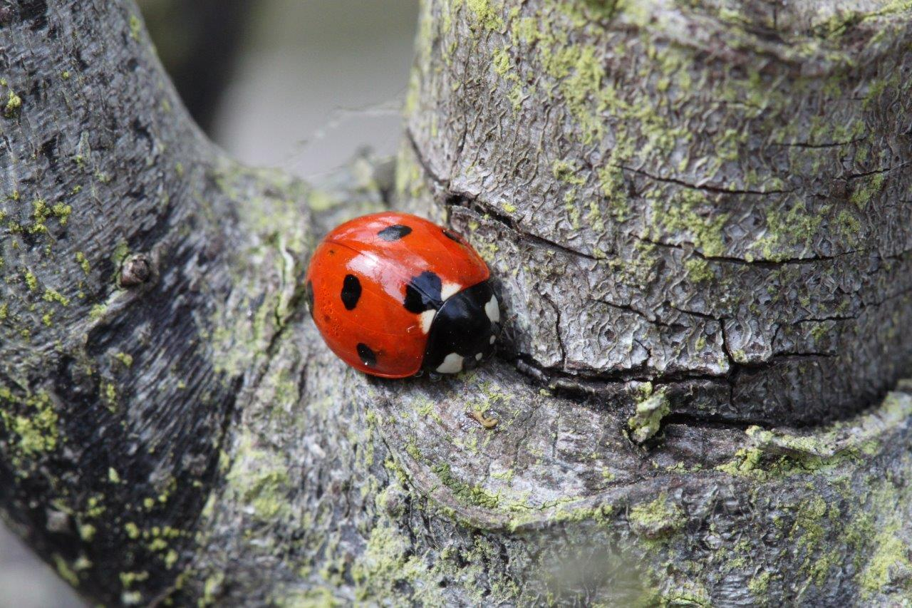 Smooth ladybug on rough tree bark illustrating texture in photography