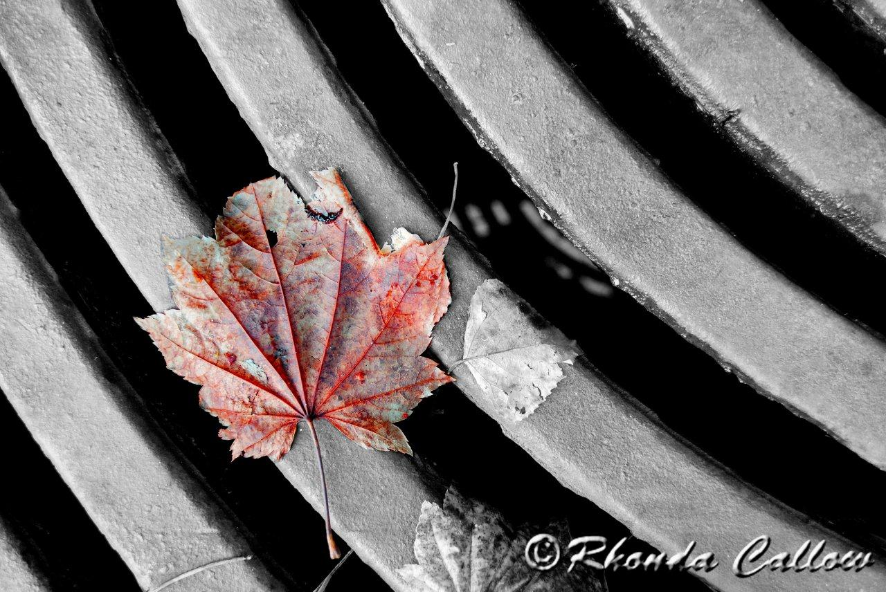 Example of selective colouring on a black and white photo with a red maple leaf