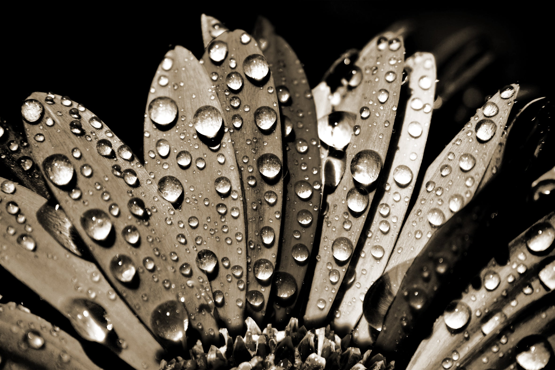 Close-up photo of flower petals with water droplets in sepia