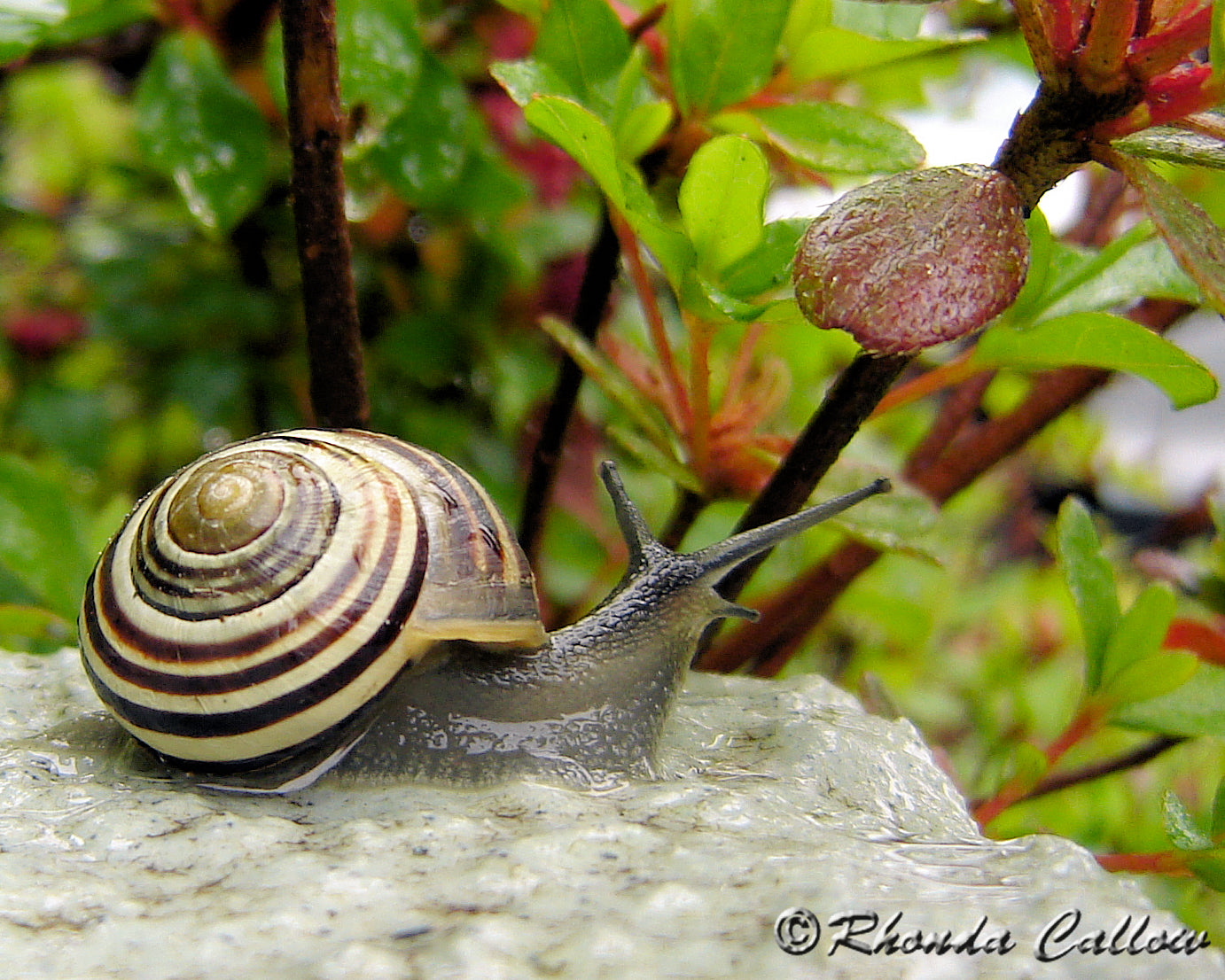 Close-up of a snail on the steps in the spring rain